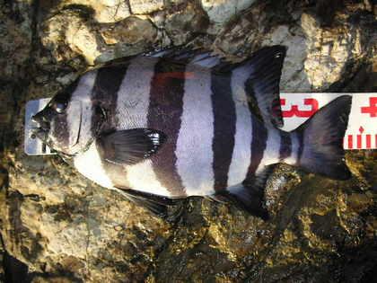 石鯛が釣れちゃいました。(35センチ)