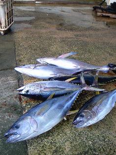 久米島のキハダ