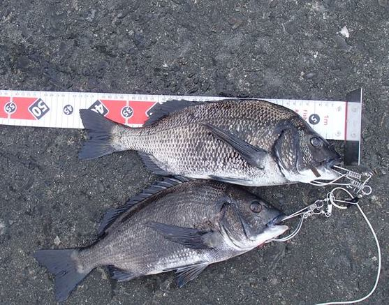 東京湾の黒鯛