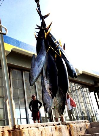 久米島のキハダ 仲里漁港